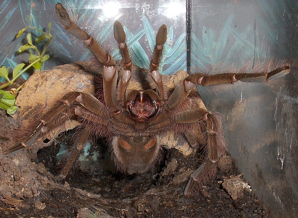 theraphosa blondi gereizt
